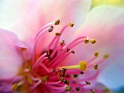 Peach treee flower. Macro.