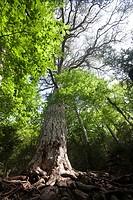 Giant Pine tree. Teruel Province.