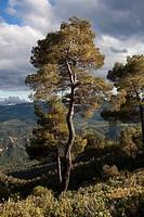 Pine Tree. Teruel Province.