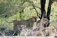 Female Lion (Panthera leo) standing up amongst pride and cubs, Kruger National Park, Transvaal, South Africa.