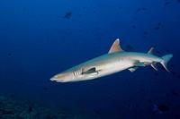 Whitetip reef shark (Triaenodon obesus) in the blue water, Indian Ocean, Maldives.