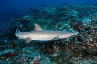 Whitetip reef shark (Triaenodon obesus) swim over coral reef in the blue water, Indian Ocean, Maldives.