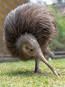 Sparky a North Island Brown Kiwi, Apteryx mantelli, with only one leg. The other leg had been amputated after it was caught in a gin trap. Whangarei N...