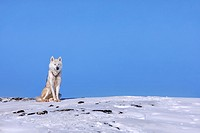 Husky dog in Ilulissat, Greenland.