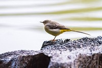 Germany, Saarland, Homburg - A grey wagtail at a rainy day on seaside.