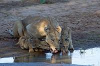 African lion (Panthera leo) - Female and two cubs, in the waterhole, Kgalagadi Transfrontier Park, Kalahari desert, South Africa/Botswana.