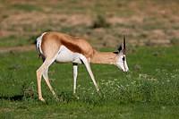 Springbok (Antidorcas marsupialis), Kgalagadi Transfrontier Park in rainy season, Kalhari Desert, South Africa/Botswana.