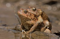American toads, Anaxyrus americanus, formerly Bufo americanus, mating pair in amplexus, Maryland