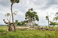 White-backed vultures (Gyps africanus) and Marabou stork (Leptoptilos crumeniferus) feeding on the carcass of an elephant, Maasai Mara national reserv...