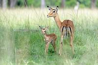 Impala (Aepyceros melampus) mother and new born infant, baby, Maasai Mara Nationa Reserve, Kenya.