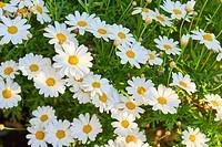 Shasta Daisy Leucanthemum x superbum.