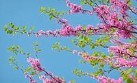 Cercis siliquastrum- Judas tree in spring time.
