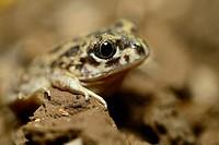 Spadefoot toad (Pelobates cultripes) in Valdemanco, Madrid, Spain.