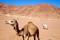 Jordan. Aqaba. Wadi Rum. Disah. Camels