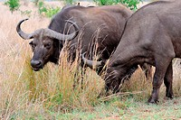 African buffaloes or Cape buffaloes (Syncerus caffer), feeding on grass, Kruger National Park, South Africa, Africa.