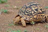 Leopard tortoise (Stigmochelys pardalis), feeding on grass, Kruger National Park, South Africa, Africa.