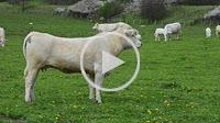 Cattle in pastureland