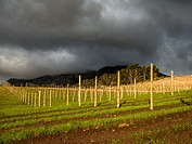 Wintering vines on a wine estate. Pruning vines and re-inforcing trellises takes place. New trellis being erected. Cape Town, South Africa.
