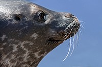 Common seal / harbor seal / harbour seal (Phoca vitulina), close up of head showing whiskers