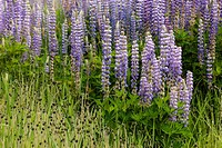 A close up of a cluster of lupine flowers in north Idaho.