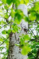 Nest of Eurasian nuthatch or wood nuthatch - Trepador azul (Sitta europaea), Sierra de Guadarrama, Madrid, Spain, Europe.