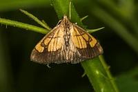 Evergestis limbata is sitting on a leaf.