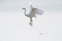 Great White Egret (Egretta alba)) flying up from water, Camargue, France.