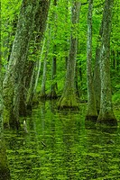 Cypress Swamp on the Natchez Trace in Mississippi.