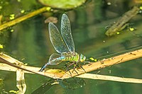 The emperor dragonfly, female laying eggs in a pond in Germany