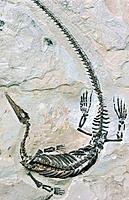 Fossil Mesosaur (Mesosaurus brasiliensis). Early Permian Period (286 to 258 million years ago). Irati formation. Brazil
