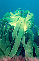 Seaweed (Laminaria ochroleuca). Galicia. Spain