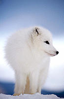 Arctic Fox in winter snow (controlled / captive animal), Alopex lagopus, Vermont, USA