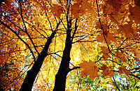 Two maple trees with golden autumn leaves, seen from below