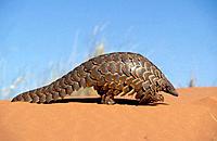 Pangolin (Manis temminckii), curls into a ball when disturbed. Kgalagadi Transfrontier Park, Kalahari. South Africa