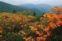 Flame azalea (Rhododendron calendulaceum). Appalachian Trail. Near Round Bald. North Carolina. USA
