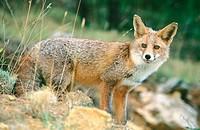 Red Fox (Vulpes vulpes). Sierra de Cazorla. Spain