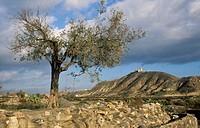 Olive tree (Olea europaea) and Tabernas castle in background. Almeria. Andalucia. Spain