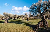 Olive trees (Olea europaea). El Maestrazgo. Castellon Province. Comunidad Valenciana. Spain
