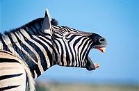 Burchell´s Zebra (Equus burchelli). Etosha National Park. Namibia