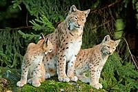 Female lynx (Lynx lynx) with cubs. Bavaria, Germany