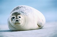 Harbour seal (Phoca vitulina). Island of Helgoland. Germany.
