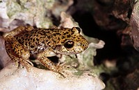 Ferreret or Mallorca midwife toad (Alytes muletensis), endemic to Balearic Islands, Spain