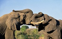 African Elephant. Loxodonta africana, Greeting, Sabi Sabi, Greater Kruger National Park, South Africa