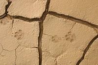 Animal foot prints in mudflats. Anza Borrego Desert State Park. California. USA.