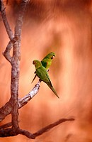 White eyed parakeet (Aratinga leucophthalmus) couple perching on a branch in front of sandstone rocks. Chapada dos Guimarães near Cuiabá. Mato Grosso....