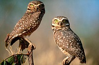 Burrowing owl (Athene cunilaria) couple sitting on a perch. Chapada dos Guimaraes. Mato Grosso. Brazil.