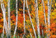 Line of birch tree trunks with autumn colour. Lively. Ontario. Canada.