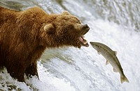 Grizzly bear catching salmon (Ursus arctos horribilis). Brooks river, Katmai National Park, Alaska, USA