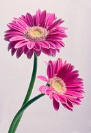 Two Pink Gerbera Flowers Intertwined. Gerbera jamesonii. Maryland, USA