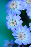 Flowers (Pericallis sp.). El Hierro, Canary islands, Spain